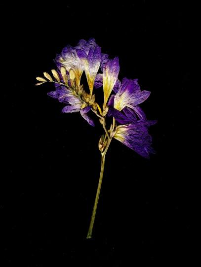 fleur sechee 1 001